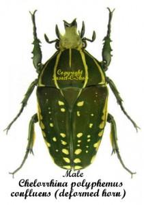 Chelorrhina polyphemus confluens 1