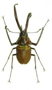 Chiasognathus granti 1