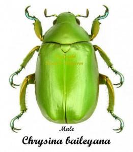 Chrysina (Plusiotis) Baileyana 1