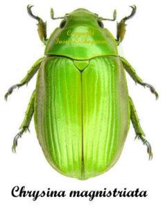 Chrysina (Plusiotis) Magnistriata 1