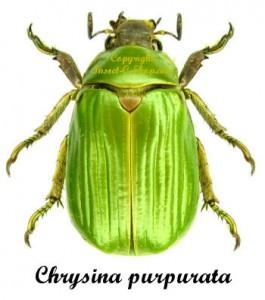 Chrysina (Plusiotis) Purpurata 1