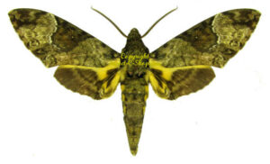 Coelonia fulvinotata 1