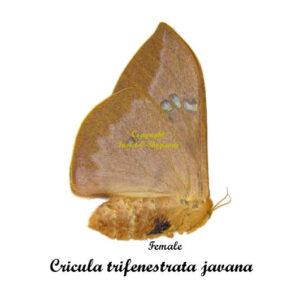 cricula-trifenestrata-janava-female