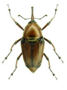 cyrtotrachelus-longimanus-f