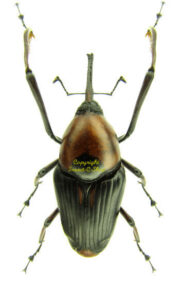 Cyrtotrachelus Longimanus 1