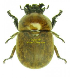Dicaulocephalus Tetsuoi  1