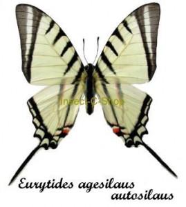 Eurytides (Neographium) agesilaus autosilaus 1