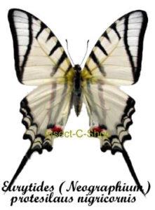 Eurytides (Neographium) protesilaus nigricornis 1