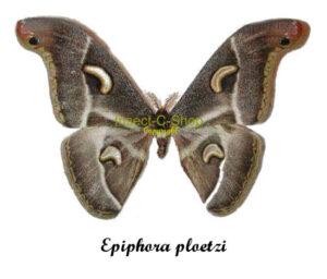 Epiphora ploetzi 1