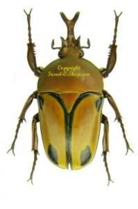 Eudicella Woermanni Trilineata (interruptefasciata form) 1