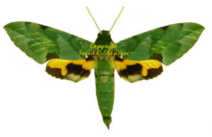 Euchloron megaera megaera (green form) 1