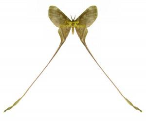 eudaemonia-trogophylla-m
