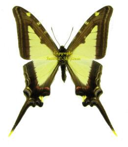 Eurytides leucaspis leucaspis 1