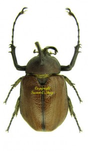Golofa eacus 1