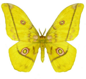 Gonimbrasia(Nudaurelia) dione 1