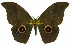 Gonimbrasia(Nudaurelia) eblis 1