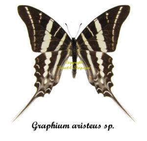 graphium-aristeus-sp