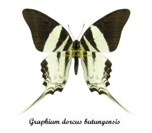 graphium-dorcus-butungensis