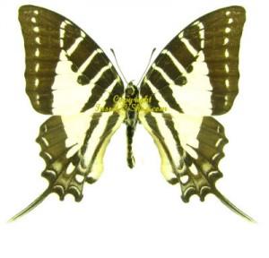 graphium-pathysa-nomius