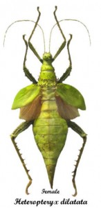 Heteropteryx dilatata(Tubed) 1