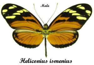 Heliconius ismenius clarescens 1