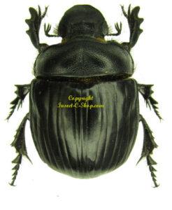 heliocopris-antenor-f