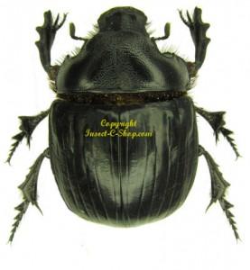 heliocopris-antenor-m