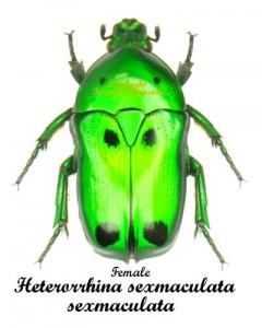 heterorrhina-sexmaculata-sexmaculata-f-indo