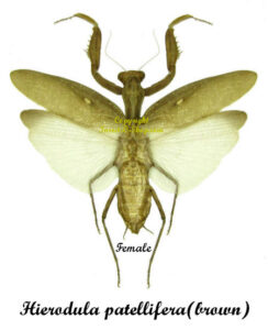 Hierodula patellifera(brown)(spread) 1
