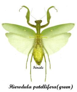 Hierodula patellifera(green)(spread) 1