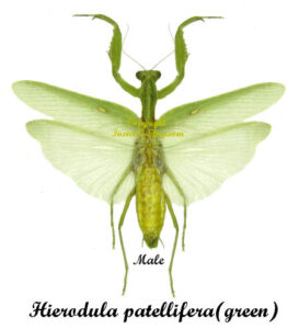 Hierodula patellifera(green)(spread) 1