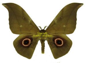 Lobobunaea phaedusa 1