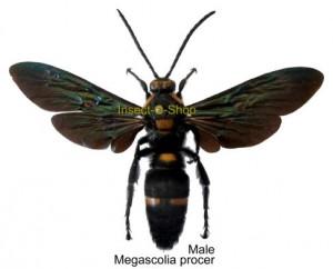 Megascolia procer(Spread) 1