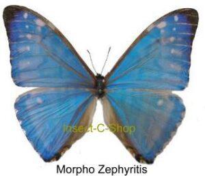 Morpho zephyritis 1
