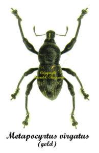 Metapocyrtus Virgatus (Gold form) 1