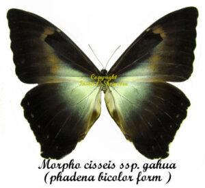 Morpho cisseis ssp