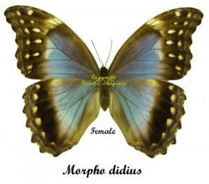 Morpho didius 1