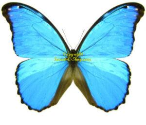 Morpho godartii julanthiscus 1