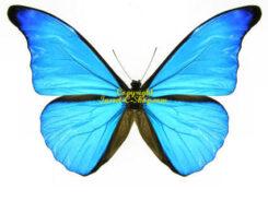 Morphidae