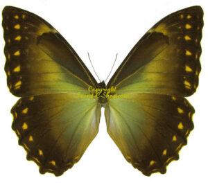 Morpho telemachus ssp