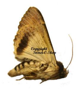 Noctuidae sp