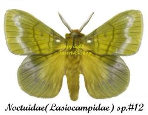 Noctuidae(Lasiocampidae) sp
