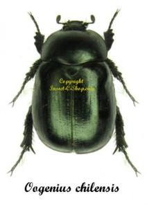 Oogenius Chilensis 1