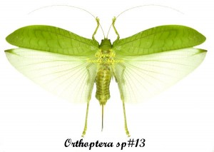 Orthoptera sp#13(Spread) 1