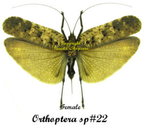 Orthoptera sp#22(Spread) 1