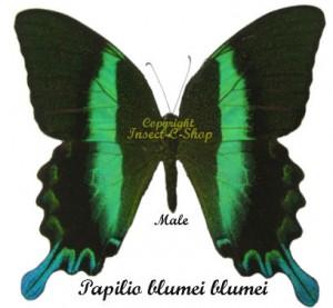 Papilio blumei blumei 1