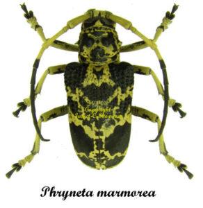 Phryneta marmorea 1