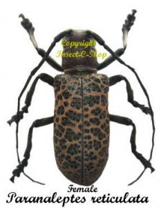 Paranaleptes reticulata 1