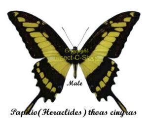 Papilio (Heraclides) thoas cinyras 1