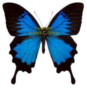 Papilio ulysses ulysses 1